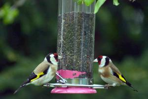 Two Goldfinches, the whereabouts of the other three are currently unknown!